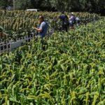 จีนเผยความสำเร็จดัน 'พืชเศรษฐกิจ' ด้วยเทคโนโลยีตลอด 5 ปีที่ผ่านมา